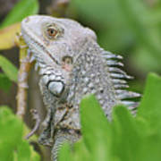 Profile Of A Gray Iguana Perched In A Bush Poster