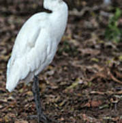 Profile of an Egret Poster