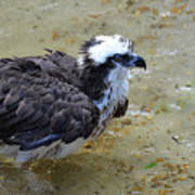 Profile Of An Osprey In Shallow Water Poster