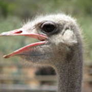 Profile Of An Ostrich Poster