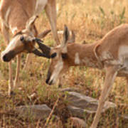 Pronghorn Antelope Bucks Locking Horns Poster