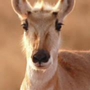 Pronghorn Antelope Doe In Soft Light Poster
