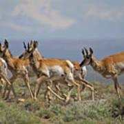 Pronghorn Antelope Running Poster
