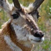 Pronghorn Buck Face Study Poster