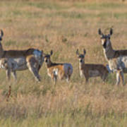 Pronghorn Fawns And Their Mothers Poster