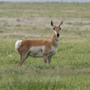 Pronghorn On The Plains Poster