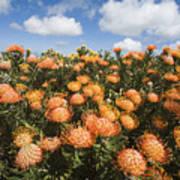 Protea Blossoms Poster