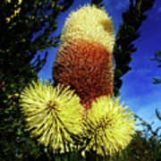 Protea Flower 5 Poster