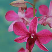 Puanani Kealoha Dendrobium D Burana Red Flame Hawaiian Orchid Poster