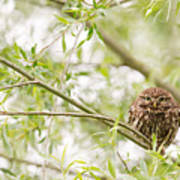 Puffed Up Little Owl In A Willow Tree Poster