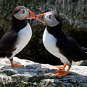 Puffin Love Poster