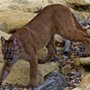 Puma Stalking Poster