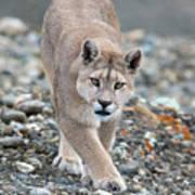 Puma Walk Poster