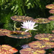 Pure Water Lily Poster