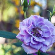 Purple Rose Glow Poster