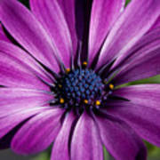 Purple African Daisy Poster by Robert  Torkomian