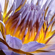 Purple and Gold Lily Poster