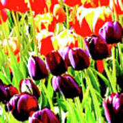 Purple And Peach Tulips 2 Poster
