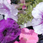 Purple And Pink Petunias Oil Painting Poster