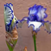Purple And White Bearded Iris Bud Poster
