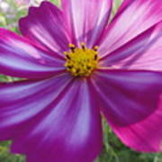Purple And White Cosmos Poster