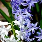 Purple And White Hyacinth Poster