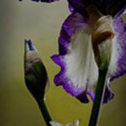 Purple And White Iris Flower Poster