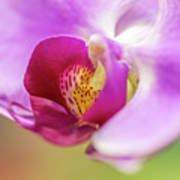 Purple And White Orchid 2 Poster