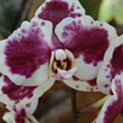 Purple And White Orchid Poster
