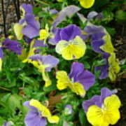 Purple And Yellow Pansies Poster