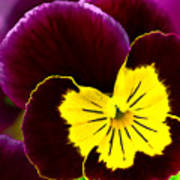 Purple And Yellow Pansy Poster
