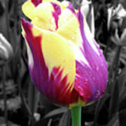 Purple And Yellow Tulip Poster