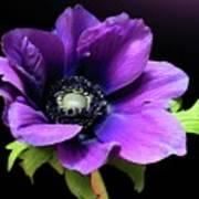 Purple Anemone Flower Poster