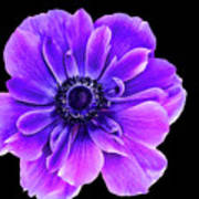Purple Anemone Flower Poster