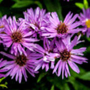 Purple Aster Blooms Poster