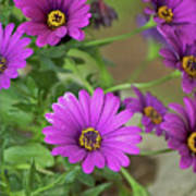 Purple Aster Flowers Poster