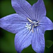 Purple Balloon Flower Poster by  Onyonet  Photo Studios