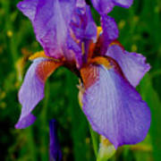 Purple Bearded Iris Portrait Poster