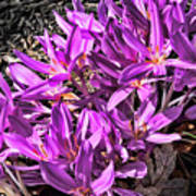 Purple Beauties Poster