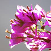 Purple Bougainvillea Flower Poster