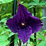 Purple Clematis Henryi Poster