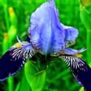 Purple Coated Iris Poster