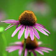 Purple Cone Flower Poster