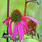 Purple Coneflower Along White Pine Trail In Kent County, Michigan  Poster