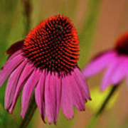 Purple Coneflower Poster