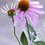 Purple Cornflowers Poster
