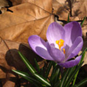 Purple Crocus In Dried Leaves Poster
