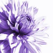 Purple Dahlia Floral Poster