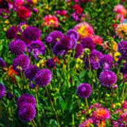 Purple Dahlias Poster