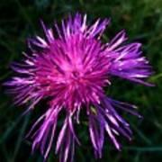 Purple Dandelions 4 Poster